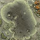 Image of Golden moonglow lichens
