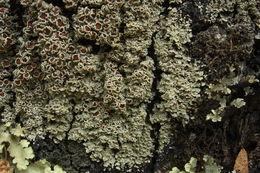Image of matted lichen