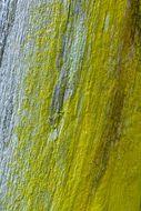 Image of <i>Chrysothrix candelaris</i> (L.) J. R. Laundon
