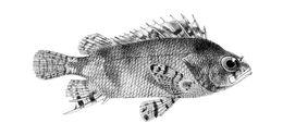 Image of False scorpionfish