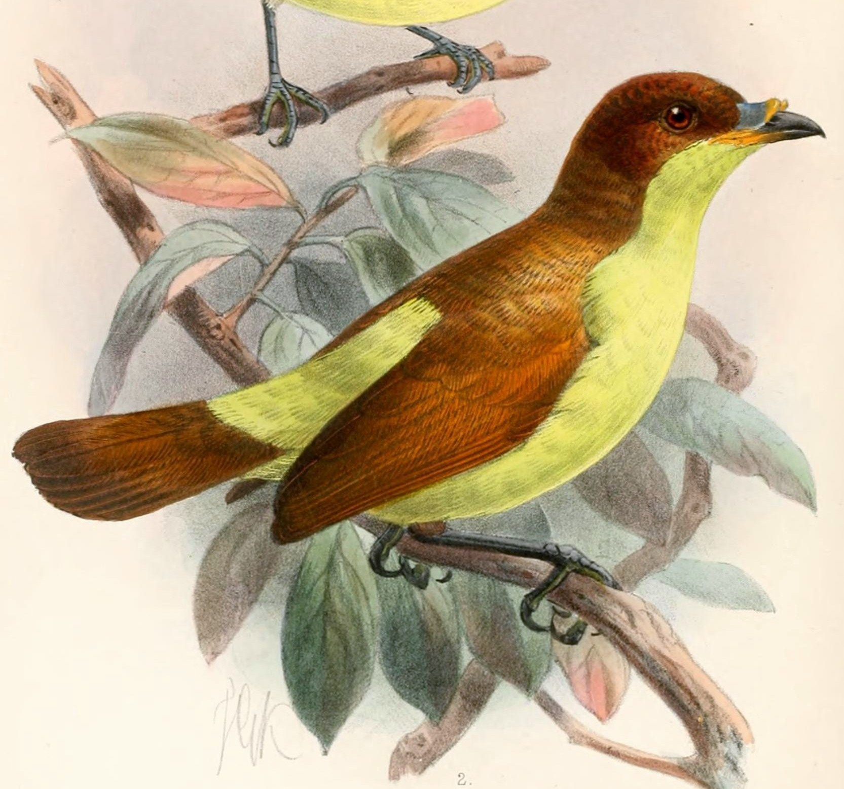 Image of Silken Satinbird