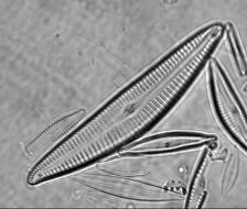 Image of Cymbella