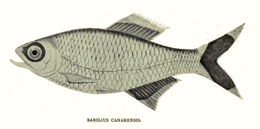 Image of Jerdon's Baril