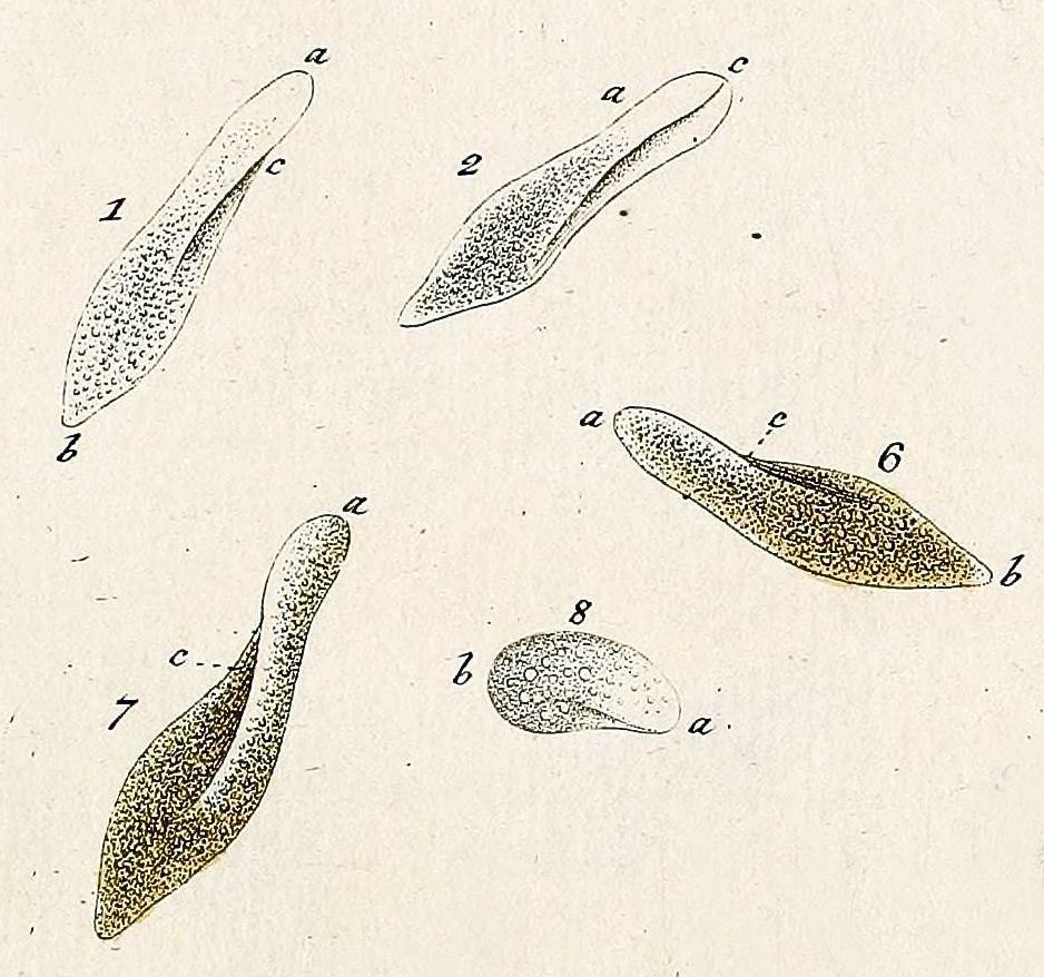 Image of <i>Paramecium aurelia</i>