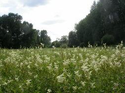 Image of Meadowsweet