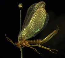 Image of Forcepfly