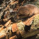 Image of Alpine Shrew
