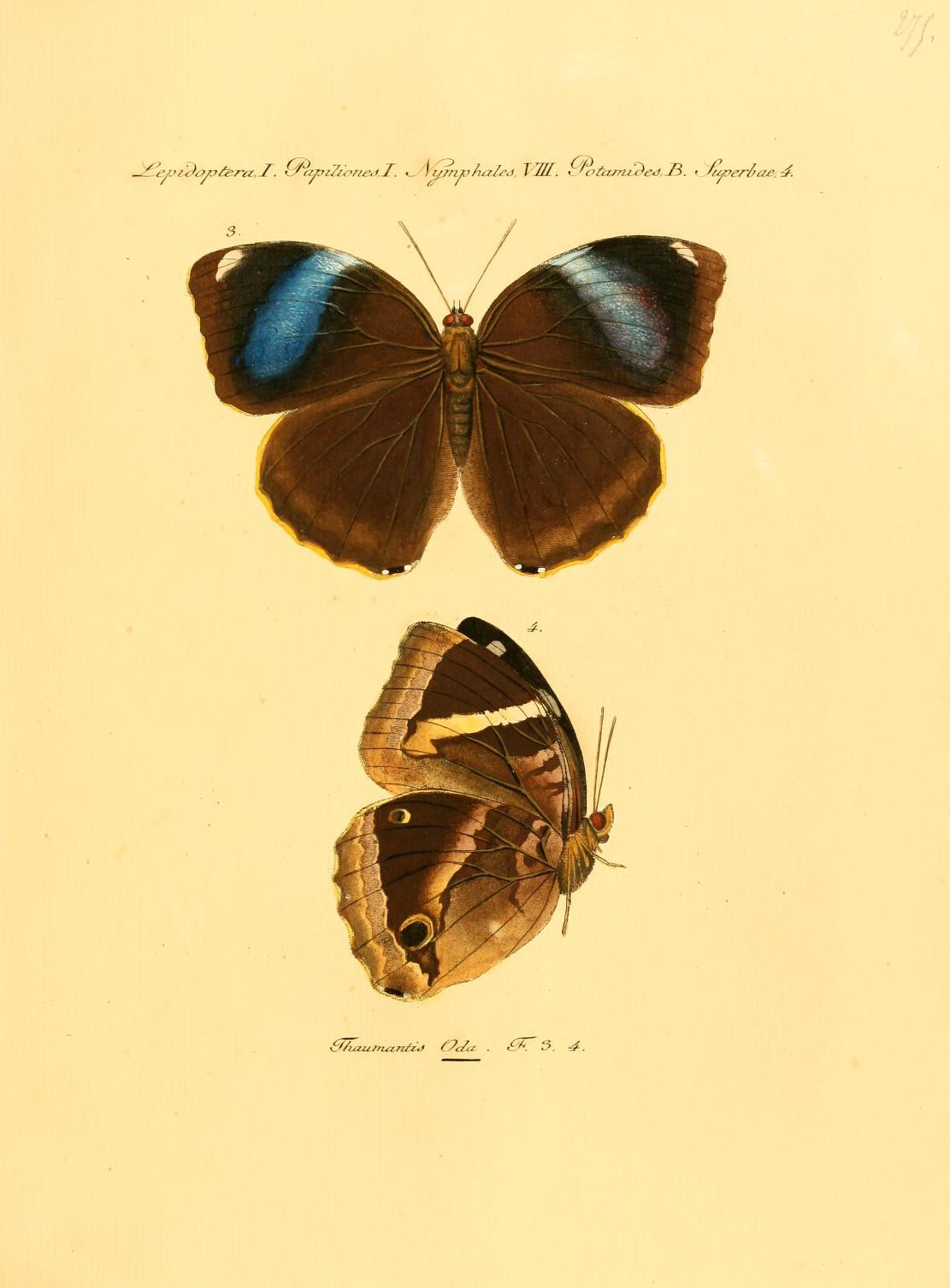 Image of <i>Thaumantis odana</i> Godart 1824
