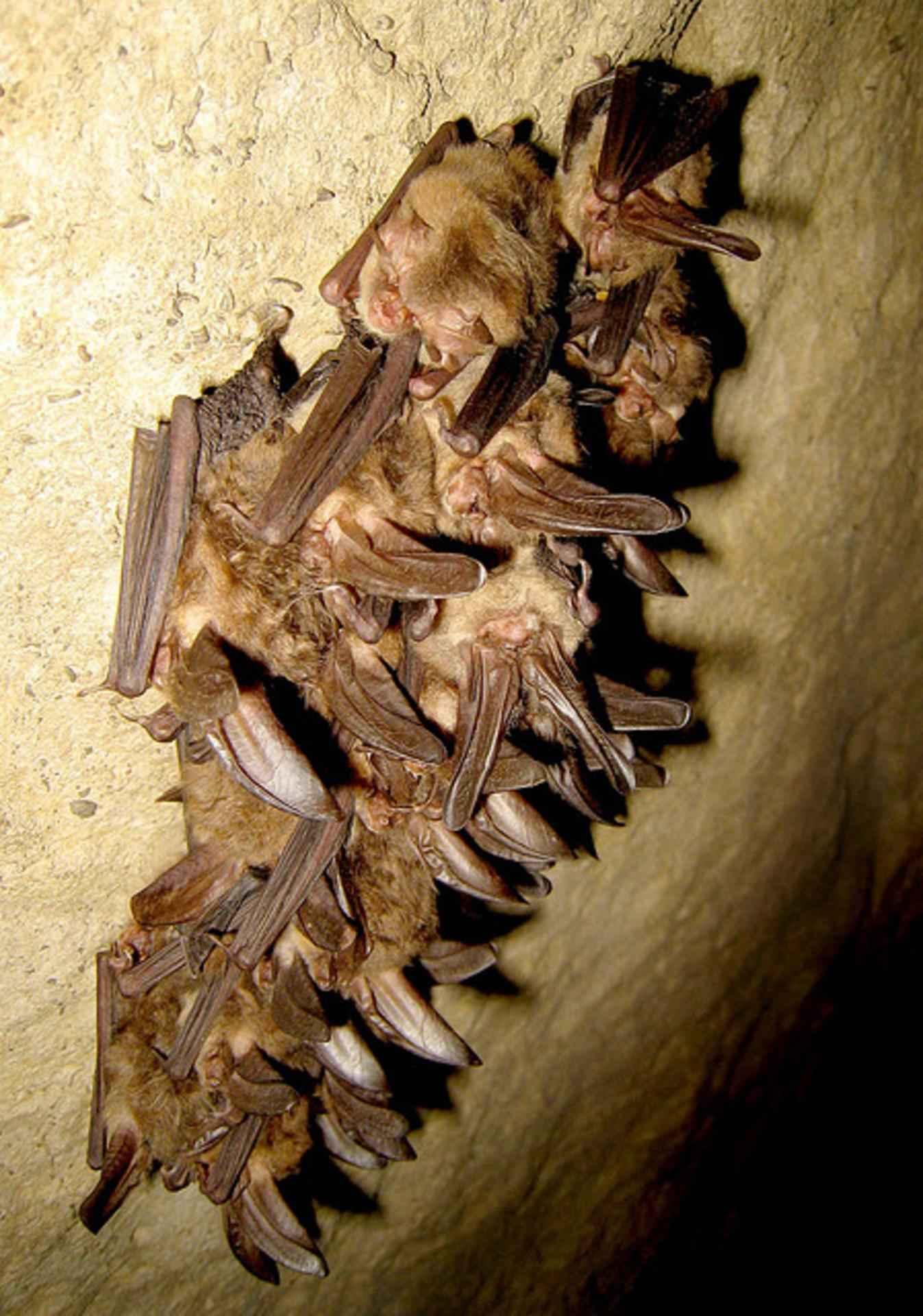 Image of <i>Corynorhinus townsendii virginianus</i> Handley 1955