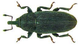Image of <i>Mecinus pyraster</i>