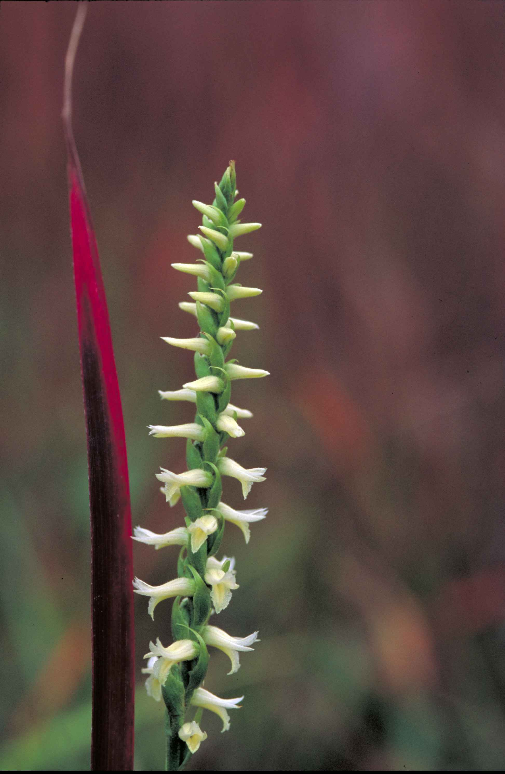 Image of Great Plains lady's tresses