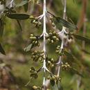 Image of <i>Eucalyptus pendens</i> Brooker