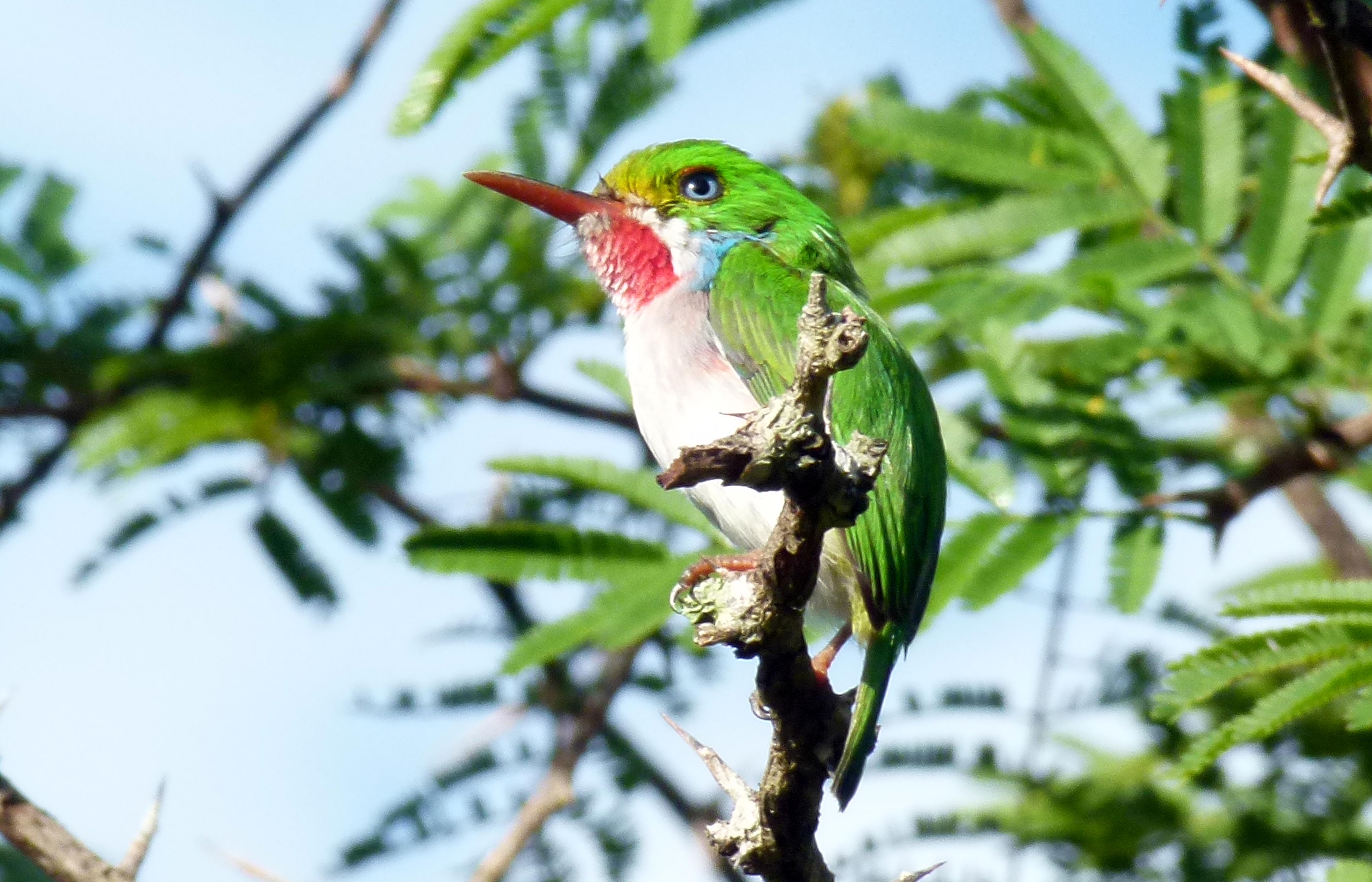 Image of Cuban Tody
