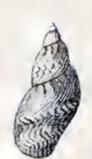Image of <i>Tricolia speciosa</i> (Megerle von Mühlfeld 1824)