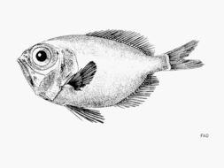 Image of Black Discfish