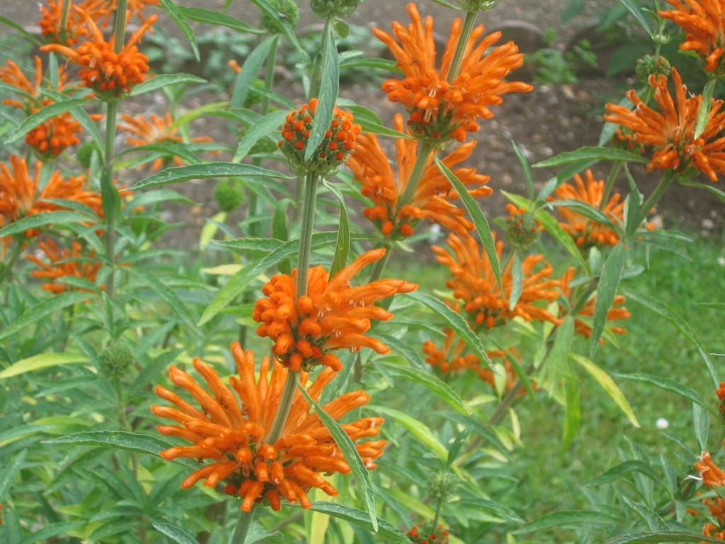 Image of lion's ear