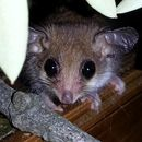 Image of pygmy possums