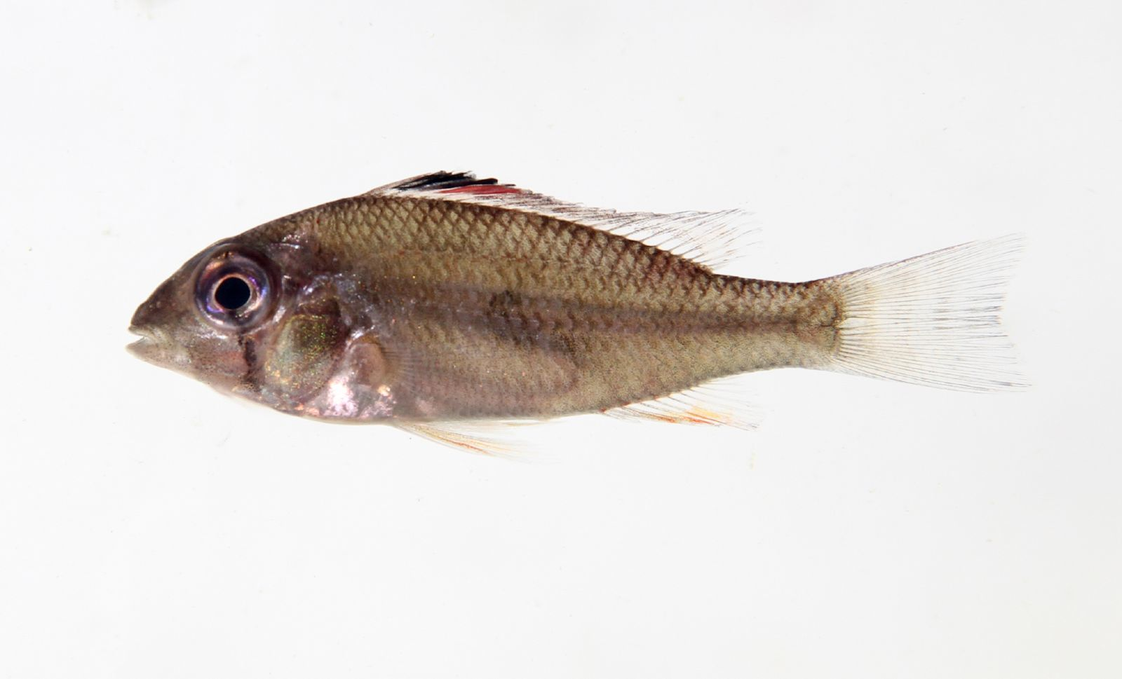Image of Threadfin acara
