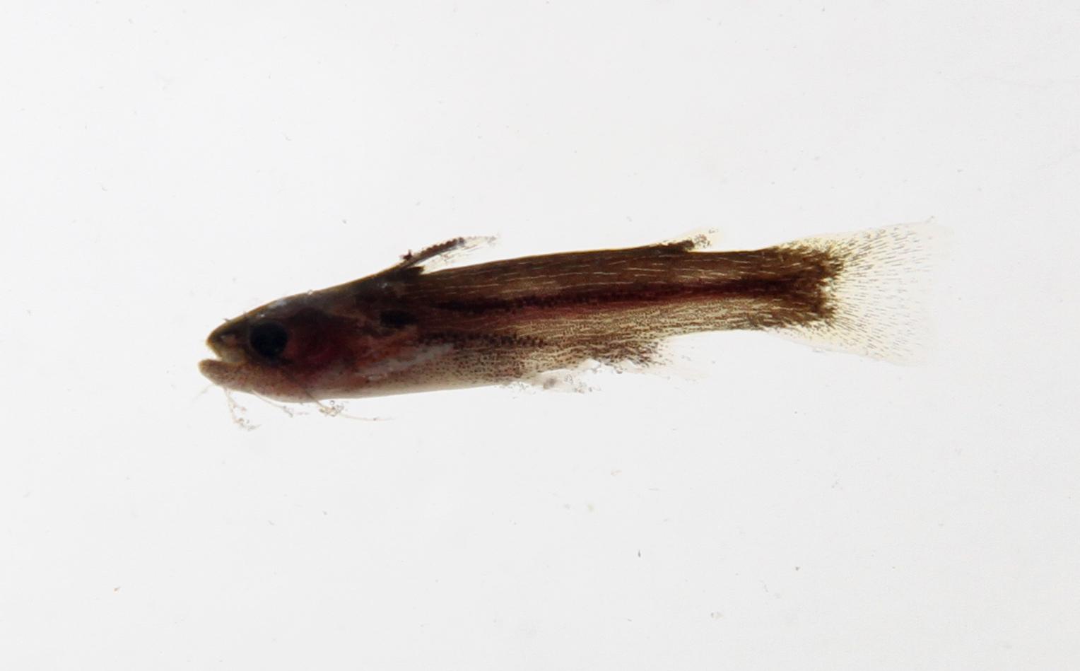 Image of bottlenose catfishes