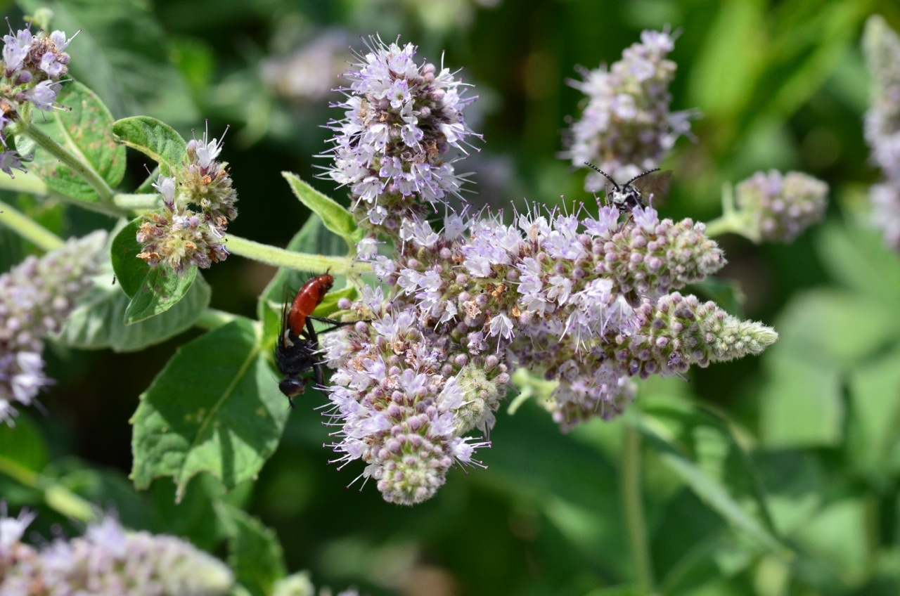 Image of Horse Mint