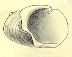 Image of <i>Incisura rosea</i> (Hedley 1904)