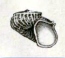 Image of <i>Scissurella costata</i> d'Orbigny 1824