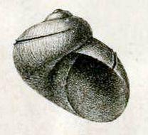 Image of <i>Scissurella jucunda</i> E. A. Smith 1890