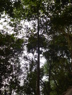 Image of <i>Hopea odorata</i> Roxb.