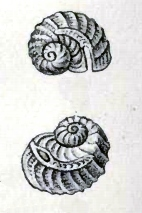 Image of <i>Sinezona cingulata</i> (O. G. Costa 1861)