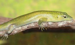 Image of Green Tree Skink