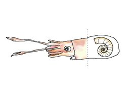 Image of Little Post Horn Squid