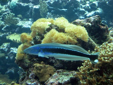 Image of Blue blanquillo
