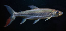 Image of Giant Tigerfish