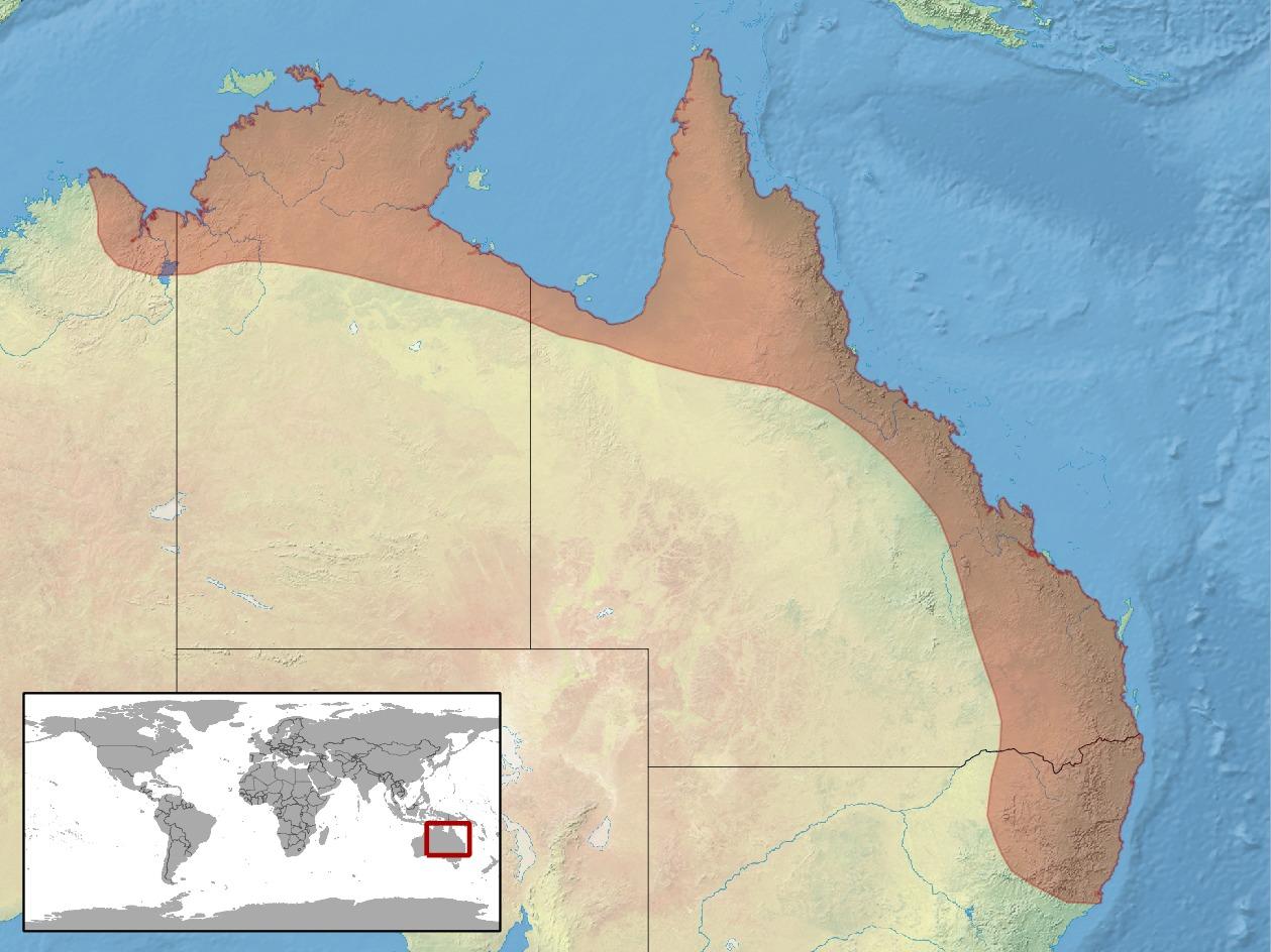 Image of <i>Gehyra australis</i>