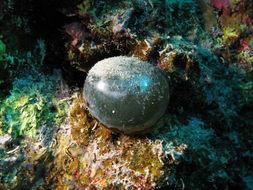 Image of Bubble algae