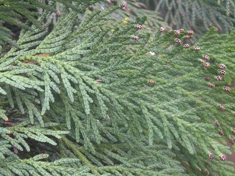 Image of Japanese Arbor-vitae