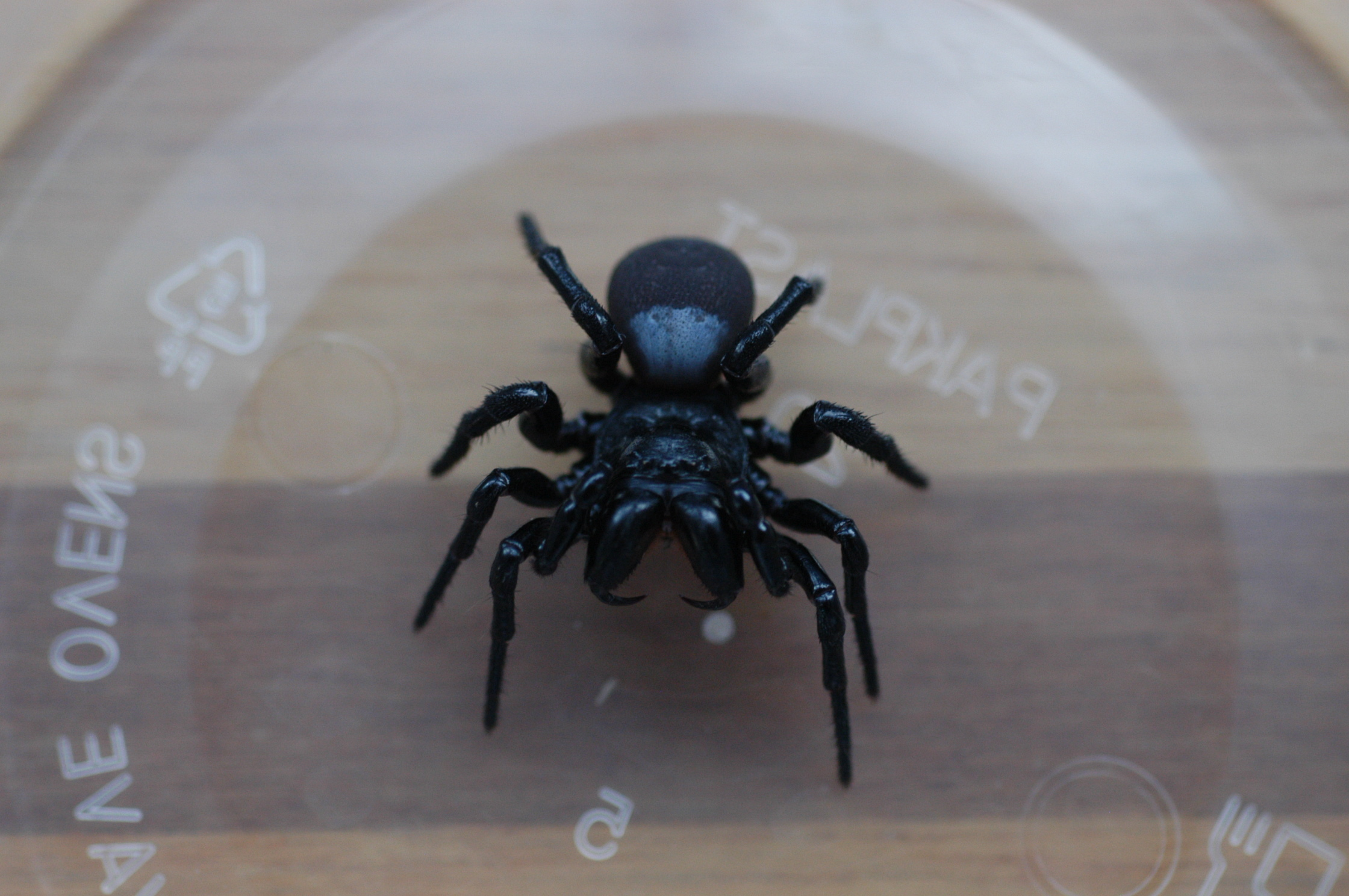 Image of Mouse Spider