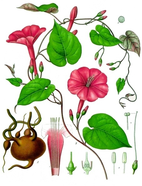Image of <i>Ipomoea purga</i> (Wender.) Hayne