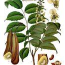 Image of balsam of Tolu