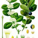 Image of Arrow-poison Tree
