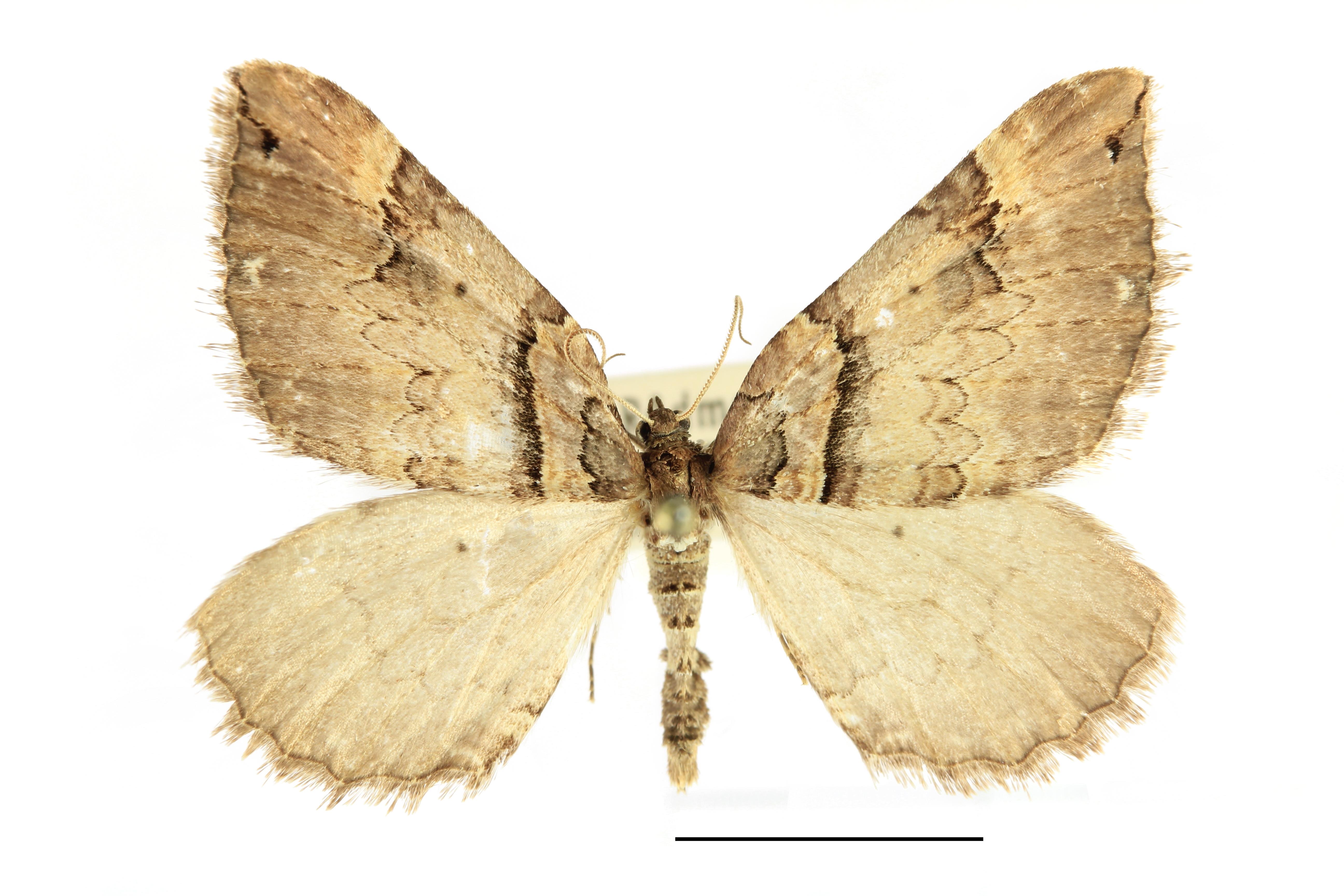 Image of Shoulder-stripe