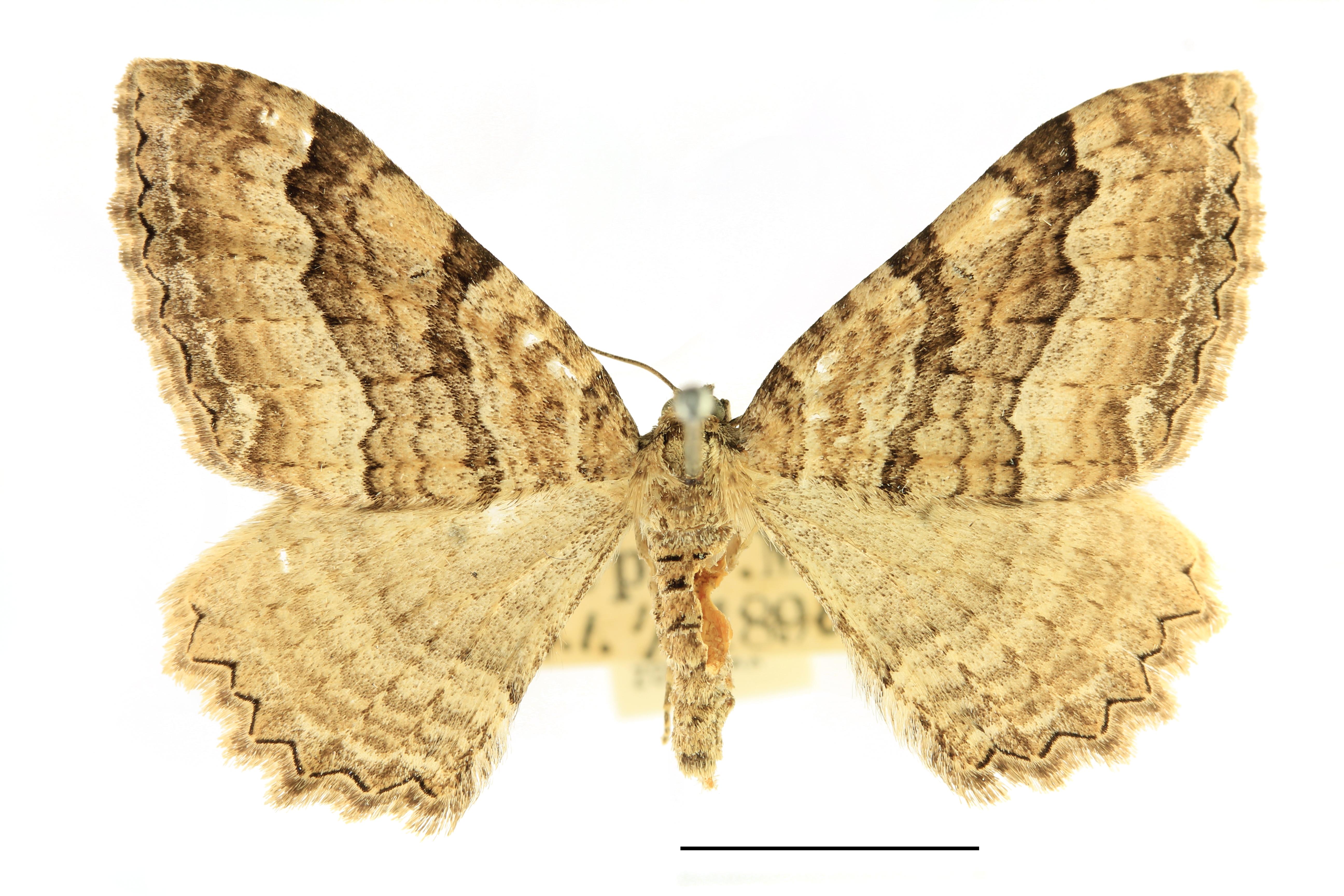 Image of <i>Hydria cervinalis</i> (Scopoli 1763) Scopoli 1763