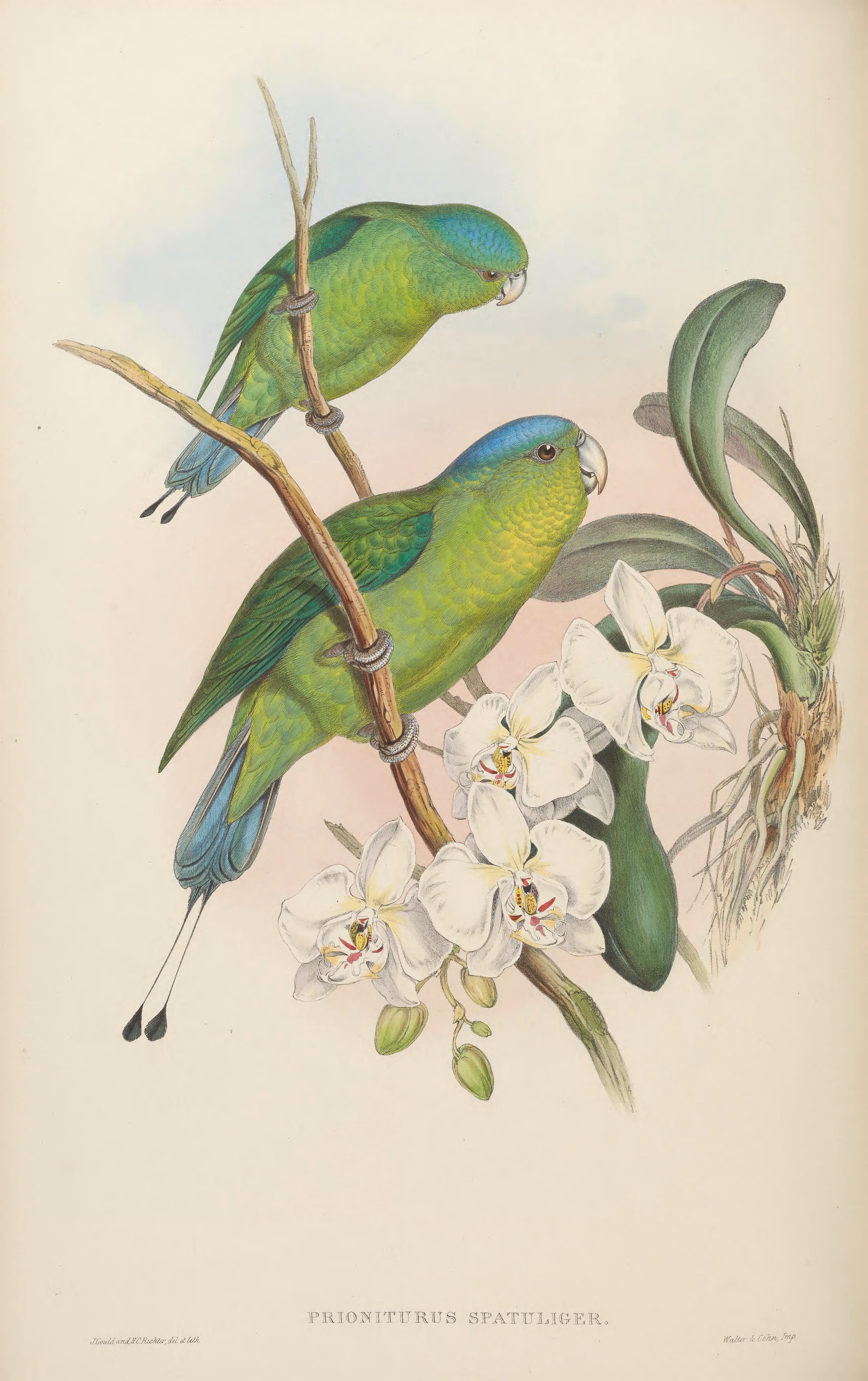 Image of Blue-crowned Racket-tail