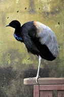 Image of Grey-winged Trumpeter