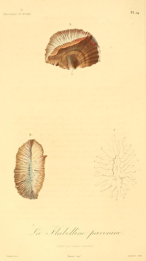 Image of <i><i>Flabellum</i></i> (Flabellum) <i>pavoninum</i> Lesson 1831