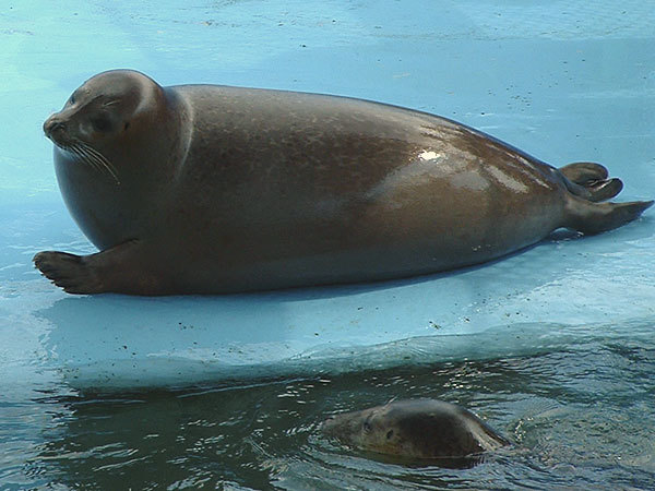 Image of Bearded Seal