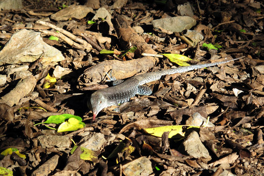 Image of Puerto Rican Giant Ameiva