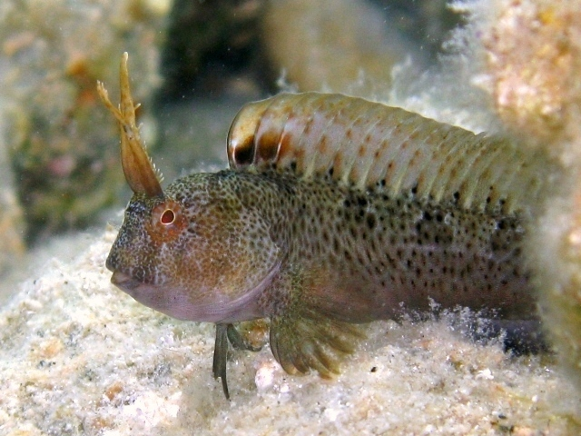 Image of Tentacled Blenny