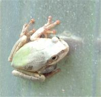 Image of Squirrel Tree Frog