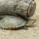 Image of Oaxaca Mud Turtle